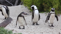 Penguins preen and walk together Stock Footage