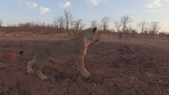 Lion stops and listens Stock Footage