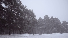 Pine trees in park covered with snow blizzard in winter park blizzard in pine Stock Footage