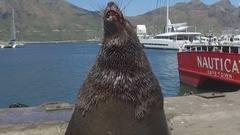 Seal catches food in harbour Stock Footage
