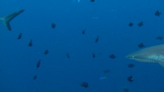 Fantastic dive with sharks and Napoleon fish in the reef to Blue Corner. Stock Footage