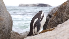 Penguin gets splashed and shakes Stock Footage