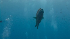 Napoleon fish. Diving on the reefs of the Palau archipelago. Stock Footage