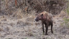 Hyena panting with bloody face Stock Footage