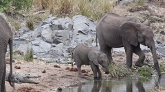 Elephant calf walks past crocodile Stock Footage