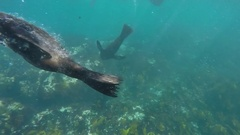 Seal breaches and dives underwater Stock Footage
