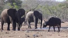 Elephant scared of buffalo Stock Footage