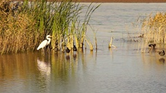 White Heron Egret Wild Birds Wade Lake Mead Stock Footage