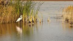 White Heron Egret Wild Birds Wade Lake Mead Stock Footage