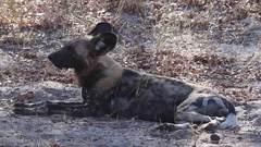 Wild dog lies in the dirt Stock Footage