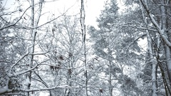Snowy tops of trees swaying in breeze in forest or park in winter Stock Footage