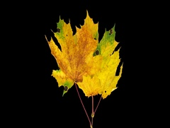 Time-lapse of drying Maple leaves, 4K with ALPHA channel Stock Footage