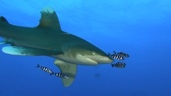 Shark, Longimanus Stock Footage