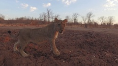 Lion walks in red sand Stock Footage