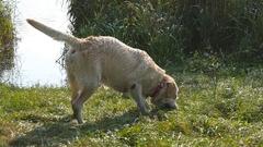Labrador or golden retriver eating wooden stick outdoor. Animal biting a stick Stock Footage