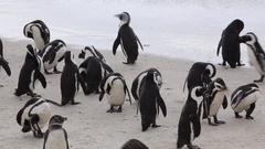 Wiggling penguins get wet at oceanside Stock Footage