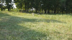 Dog running with stick in mouth and wagging tail at the field. Slow motion Stock Footage