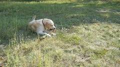 Labrador or golden retriver eating wooden stick outdoor. Dog playing outside Stock Footage