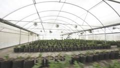 Pan past Celery Nursery greenhouse Stock Footage