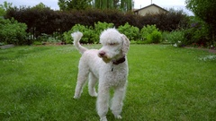 Poodle dog shakes on green lawn. Cute animal dog shaking. White pet playing Stock Footage