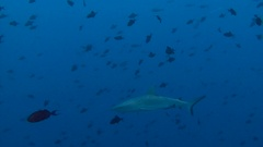 Fantastic dive with sharks in the reef to Blue Corner. Stock Footage