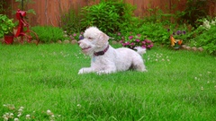 Dog laying down. White Labradoodle lying on green grass. Cute animal on grass Stock Footage