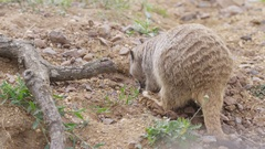 4K Close up of meerkat in natural environment digging in the ground. No people.  Stock Footage
