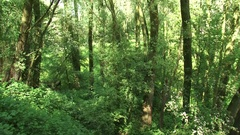 Riverine woodland with willow growing on a river dune + tilt up Stock Footage