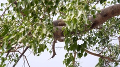 Rhesus monkey resting on tree branch, leafs move in wind, Rishikesh, India Stock Footage
