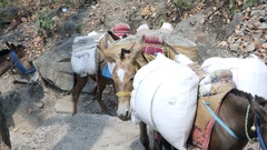 Donkeys carry heavy building material loads up mountain, Rishikesh, India Stock Footage