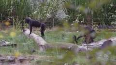 4K Family group of black crested macaque monkeys at wildlife park. No people. Stock Footage