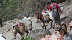 Donkeys carry heavy building material loads down mountain, Rishikesh, India Stock Footage