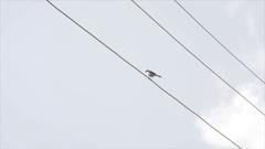 White black bird on power line, Himalaya mountains, India Stock Footage