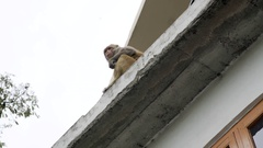 Rhesus macaque monkey eats, sits on building, watches view, India Stock Footage