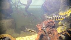 Tropical fish in aquarium Stock Footage