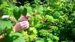 Woman reaps a crop of raspberries in garden Stock Footage