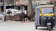 Cows eat garbage from dumpster, tuktuk rickshaw, Mcleod Ganj, India Stock Footage