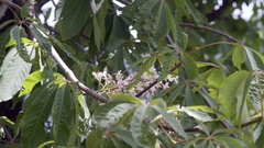 Butterfly pollinates tree with white flowers, close up, India Stock Footage