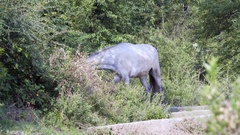White mule grazes grass, plants, Himalaya mountains, India Stock Footage