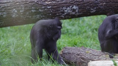4K Portrait of adult black crested macaque monkey at wildlife park. No people.  Stock Footage