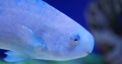 Parrotfish Glowing White and Blue in Ocean Water 10bit, 4K Stock Footage