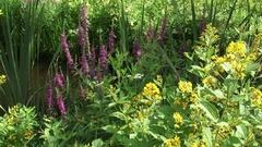 Lysimachia vulgaris, Garden Loosestrife, Lythrum salicaria, purple loosestrife Stock Footage