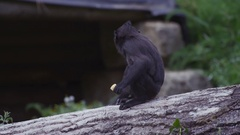 4K Portrait of baby black crested macaque monkey at wildlife park. No people.  Stock Footage