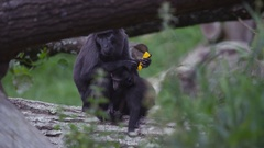 4K Portrait of mother & baby black crested macaque monkeys at wildlife park Stock Footage