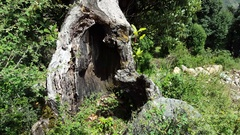 Old open rotting tree trunk in the forest Stock Footage