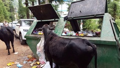 Cow eats trash garbage from dumpster, filthy unhygienic, Dharamsala, India Stock Footage