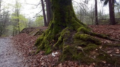 Old tree trunk covered in moss, lush green forest, saxony, Germany Stock Footage