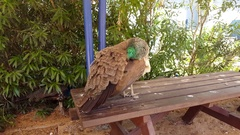 Beautiful colorful peacock male and female on picnic table Stock Footage