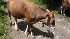 Cows go on a forest road. Transcarpathia Stock Footage