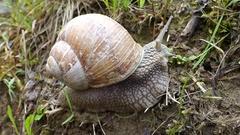 Garden snail (Helix aspersa) the big snail Stock Footage